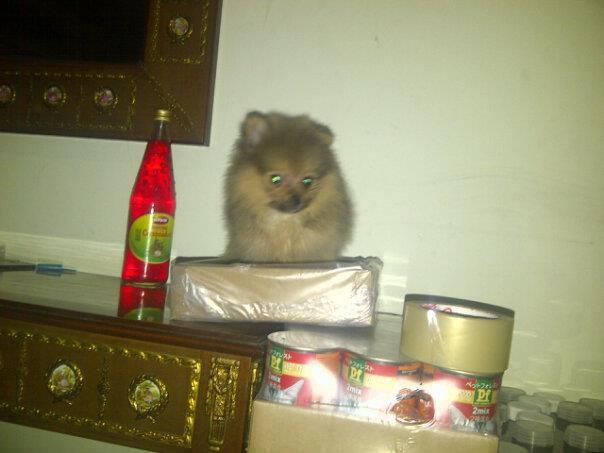 jual anjing pom,mini pom,super mini pom, golden, chiwawa, sitsu