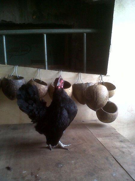 Ayam serama ok harga orang boke
