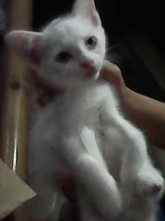 Download 101+  Gambar Kucing Anggora Lokal Paling Baru Gratis