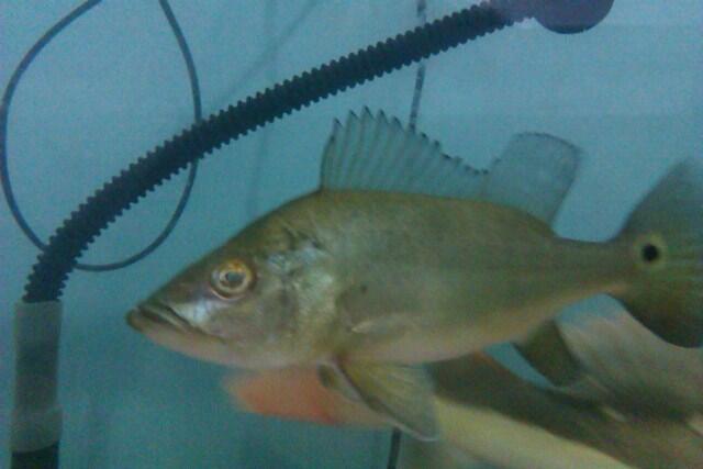 Sale Ikan Predator (Bandung)