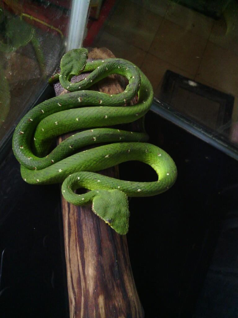 Kenali Jenis Ular Berbisa di Sekitar Agan [Indonesian Snake]