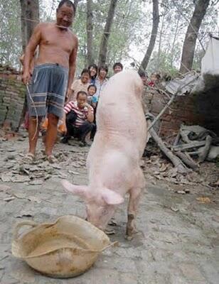 Babi Yang Hidup Dengan Dua Kaki