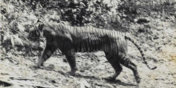 Harimau Jawa....Mari Lestarikan Gan!!