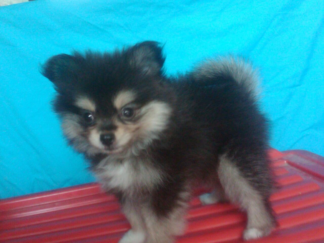 Anjing mini pom puppy