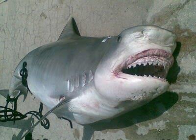 Ikan Hiu Maho___--------___
