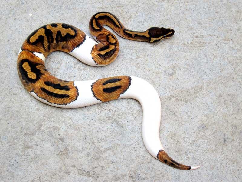 wts: pied ball python