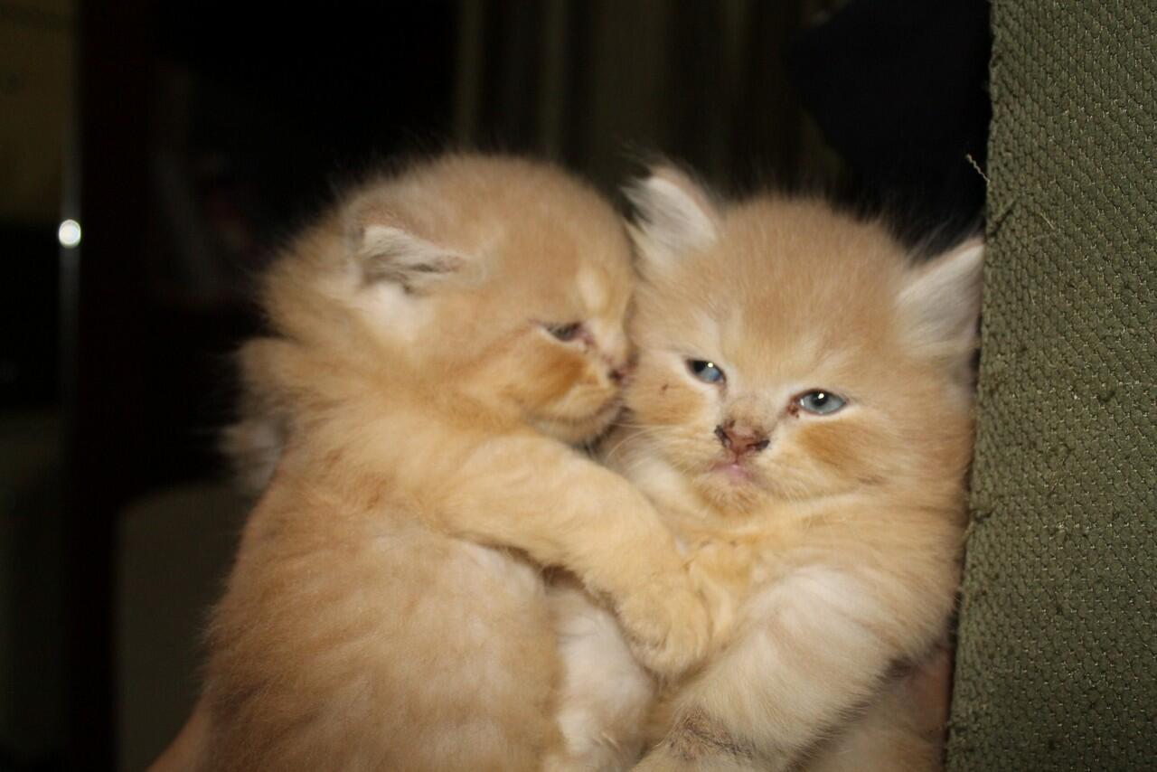 Dijual kucing persia anakan
