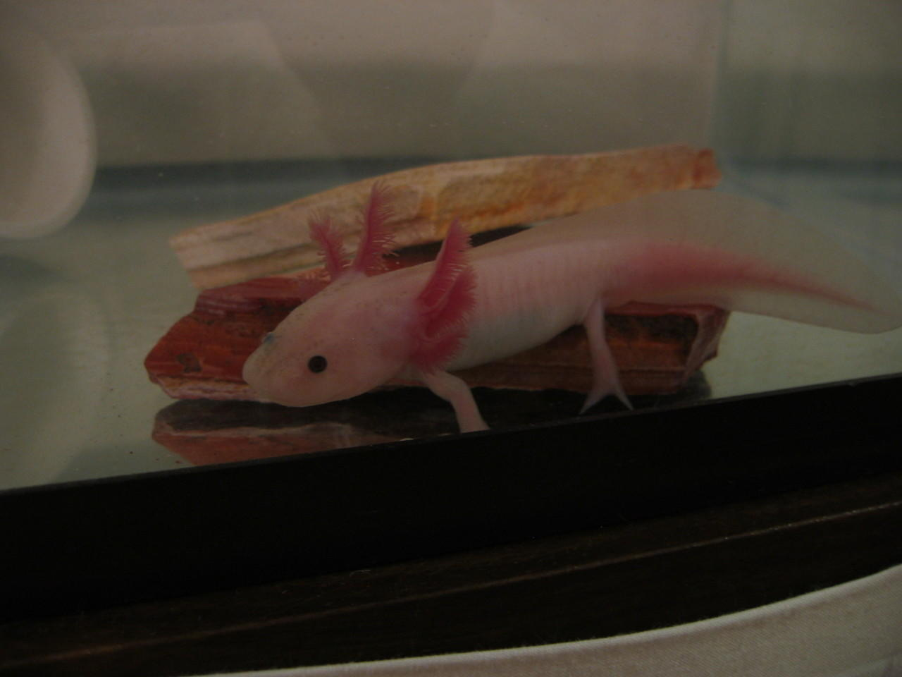 axolotl Black and Tiger gan !! Stock terbatas !! 2
