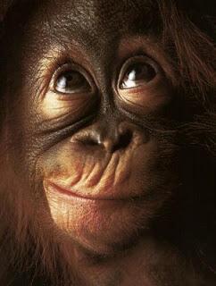 Demi Kelapa Sawit, Ribuan Orangutan Dibantai !!!!!