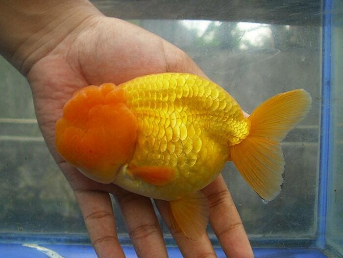 Terjual Jual Ikan Koki Maskoki Ready Indukan Ranchu Oranda Kaskus
