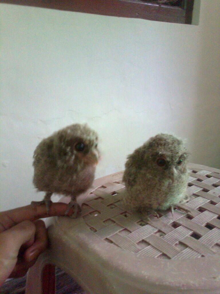 jual burung hantu celepuk/javan scoop owl