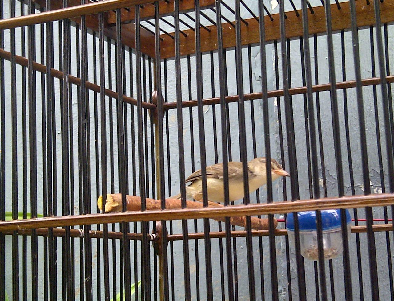 Terjual Burung Ciblek Gunung Sawah Kaskus