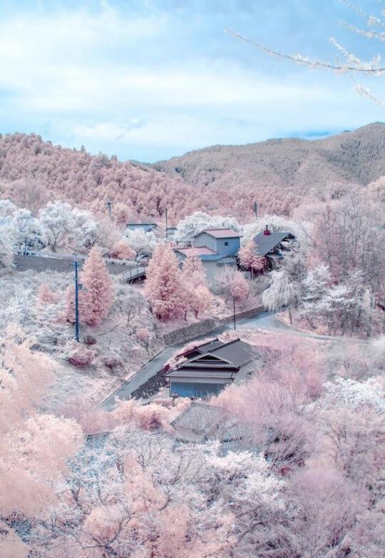 Wallpaper Gambar Bunga Sakura Jepang