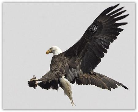 9100 Gambar Burung Elang Menyambar Mangsa Gratis Terbaru