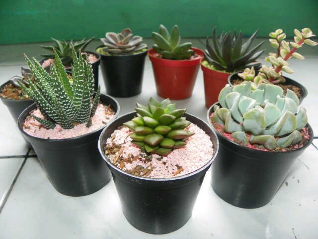 terjual souvenir kaktus mini dan tanaman hias kaskus. Black Bedroom Furniture Sets. Home Design Ideas
