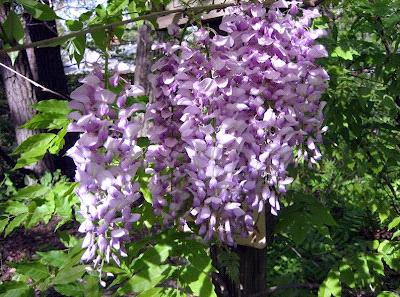 10 bunga paling wangi di seluruh dunia