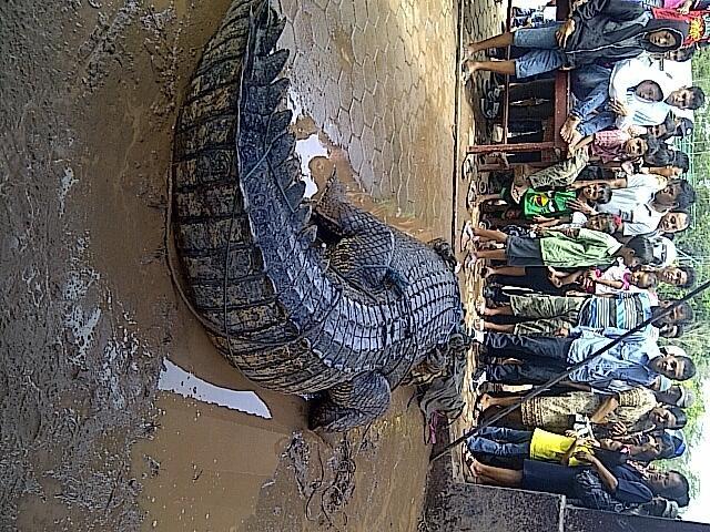 Buaya laut sepanjang 3 meter di Bekasi jadi tontonan warga