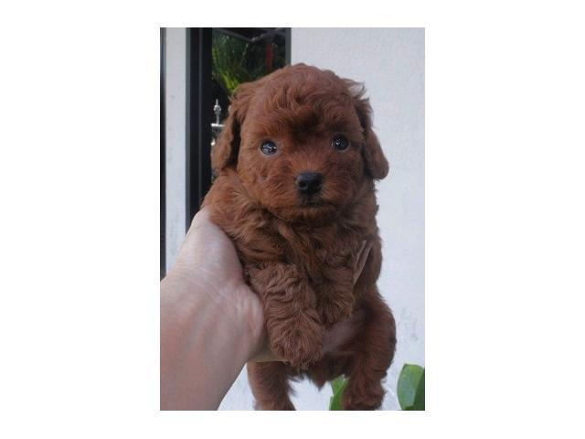 jual anak anjing red toy poodle