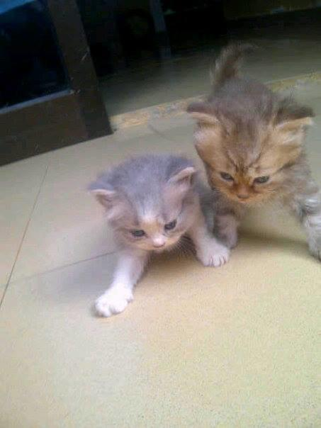 Di jual kucing Ras 'Mainecoon', 'Persia' Tengok dimari !!