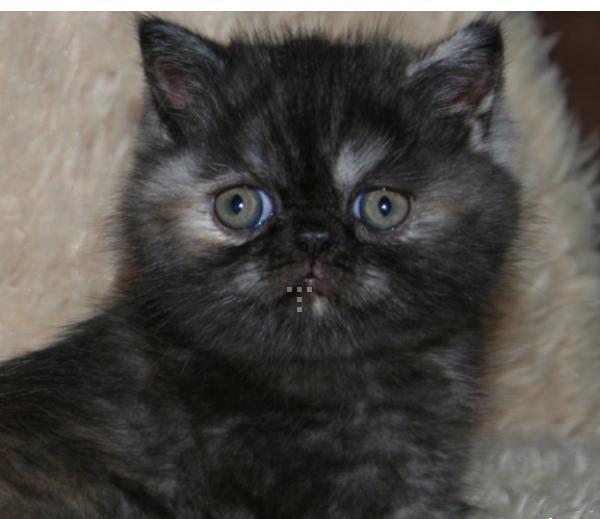 kucing famale/hub;085340782814