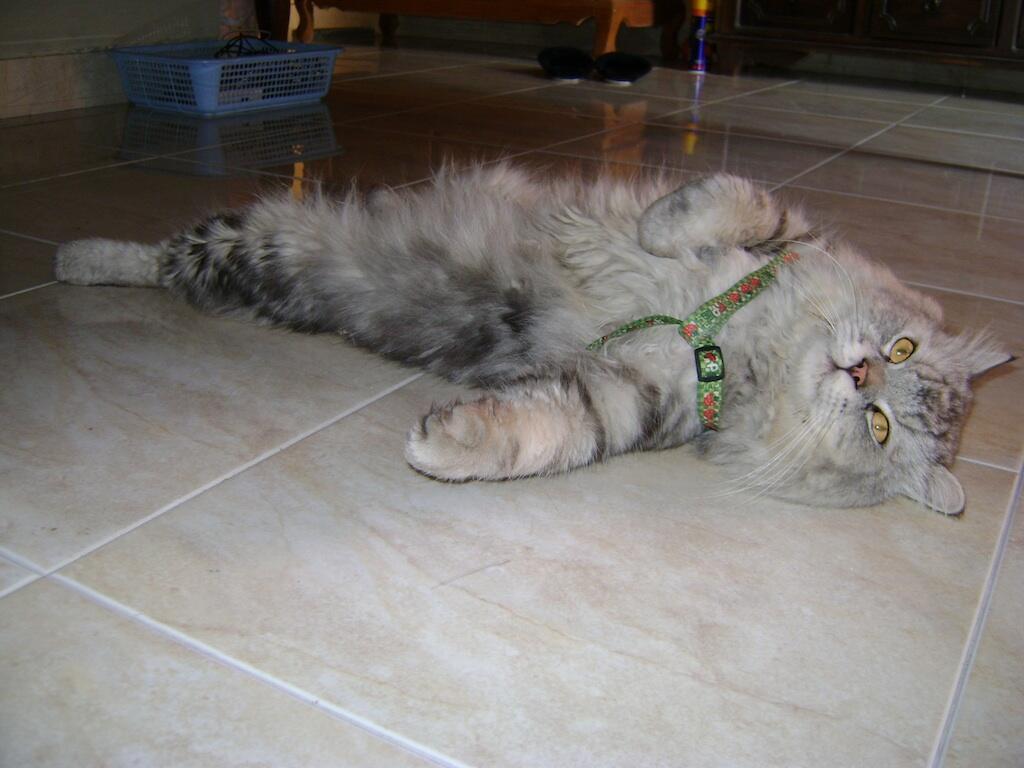Terjual Cari Mencari Kucing Persia Mix Maine Coon Yang