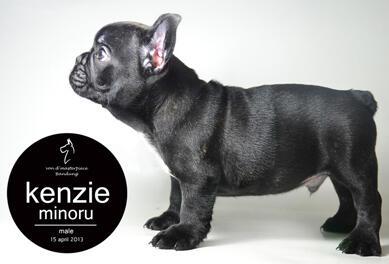 Jual 2 Ekor French Bulldog Puppies Bloodline Top