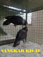 PENANGKARAN BURUNG KICAU-MENJUAL BERBAGAI JENIS BURUNG KICAU - LOVEBIRD & MURAI BATU