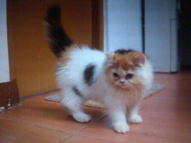 WTS Kitten / Kucing persia turunan PED harlequin bandung