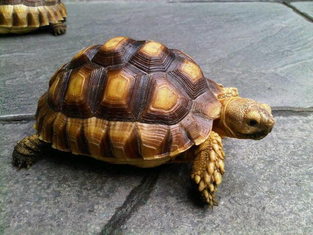 Jual Sulcata Tortoise