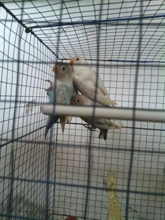 Lovebird anakan SURABAYA