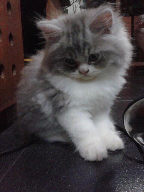 Terjual Jual Kucing Anggora Persia Betina Umur 2 Bulan