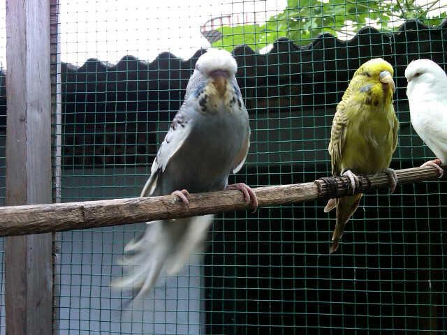 Terjual Parrot jinak | Parkit, Cockatiel, Lovebird
