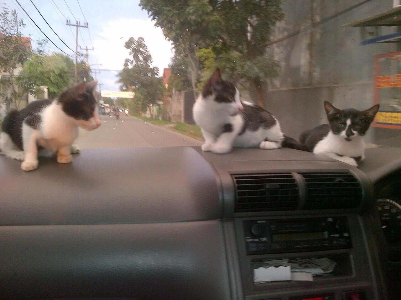 Mungkin Kucing kampung Kastanya rendah, Tapi....