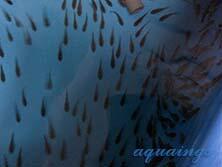 Otocinclus Affinis/Bororo For Aquascape
