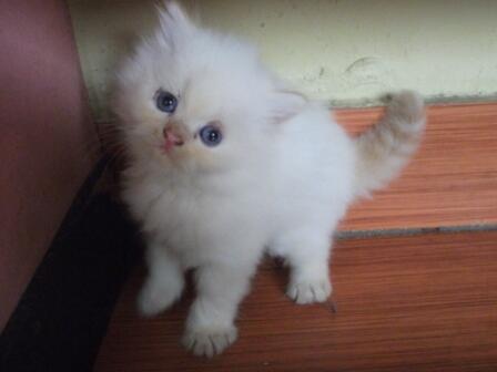 Jual Kitten Persia Jantan Putih - Anak Kucing Lucu - 2 Bulan