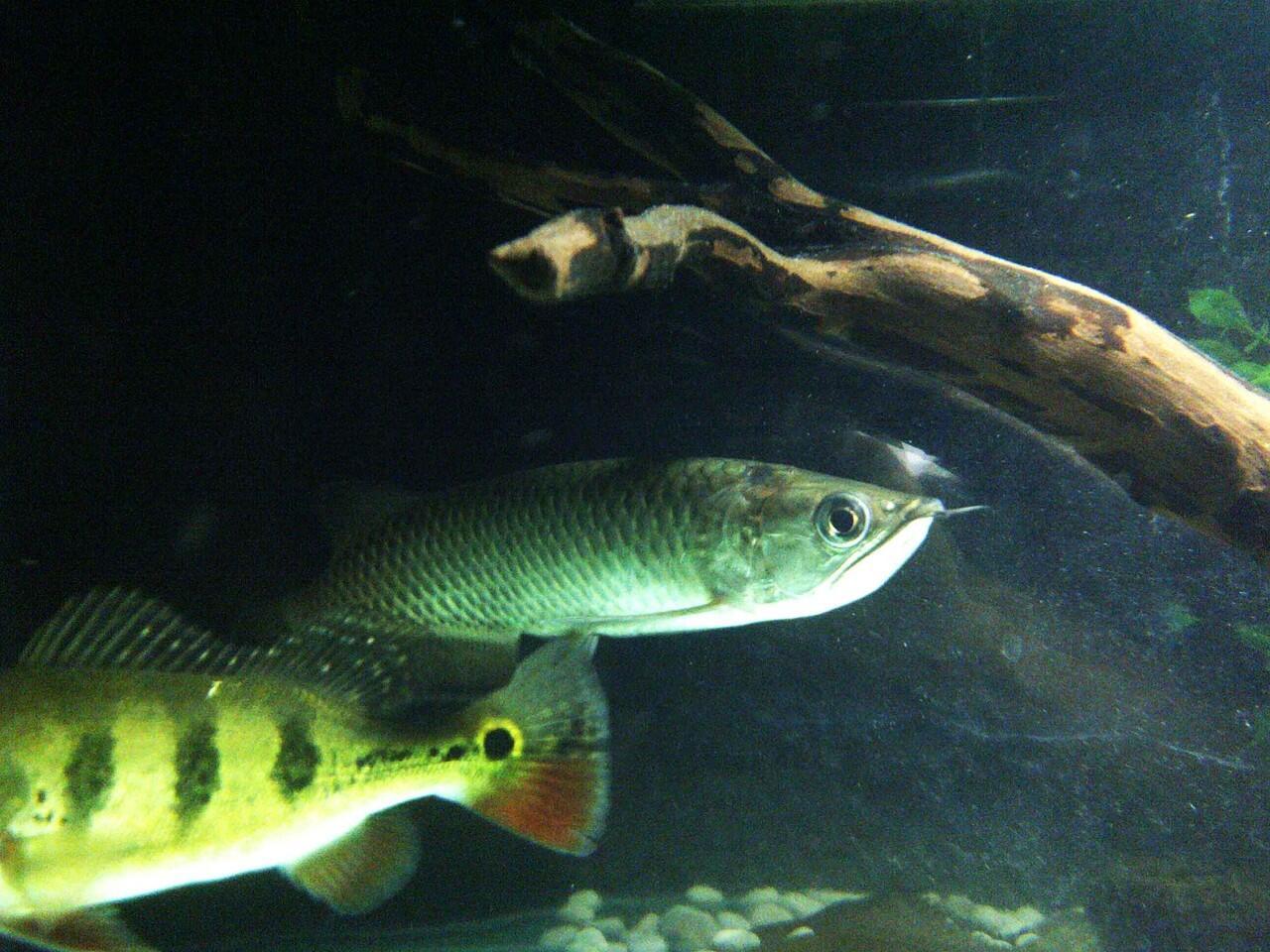 Terjual Jual Aquarium Ikan Predator