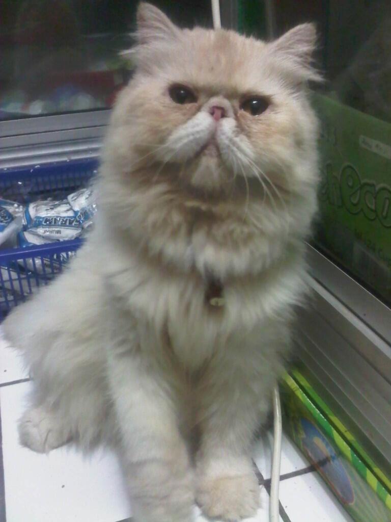 Kucing Persia Pignose Extreme Betina ( Purwakarta )