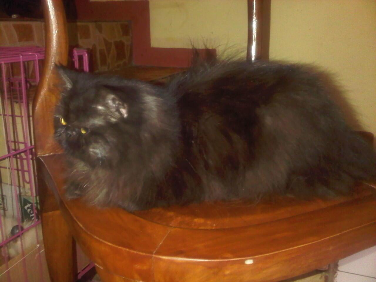 Kucing Persia Pignose Jantan ( Purwakarta )