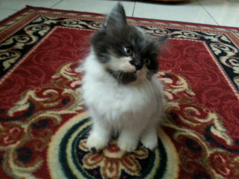 Kitten Persia Lucu Flat Nose Kaskus