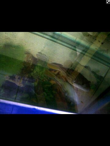 IKAN BUNTAL AIR TAWAR Puffer Fish ( FAHAKA)