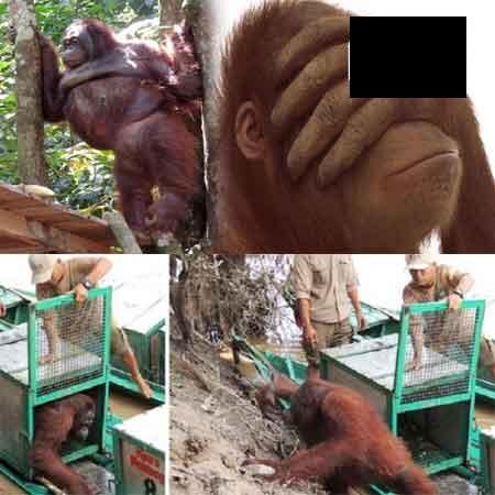 Kisah Sedih Pony Orangutan Jadi PSK