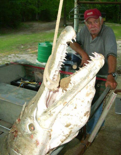 Buseeettt gan...!!! Ikan Raksasa Yang Seperti Seekor Buaya...!!!! [SEREM]