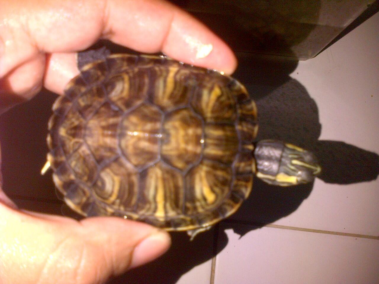 Turtle / Torto / Kura / Bulus (update terus gan)