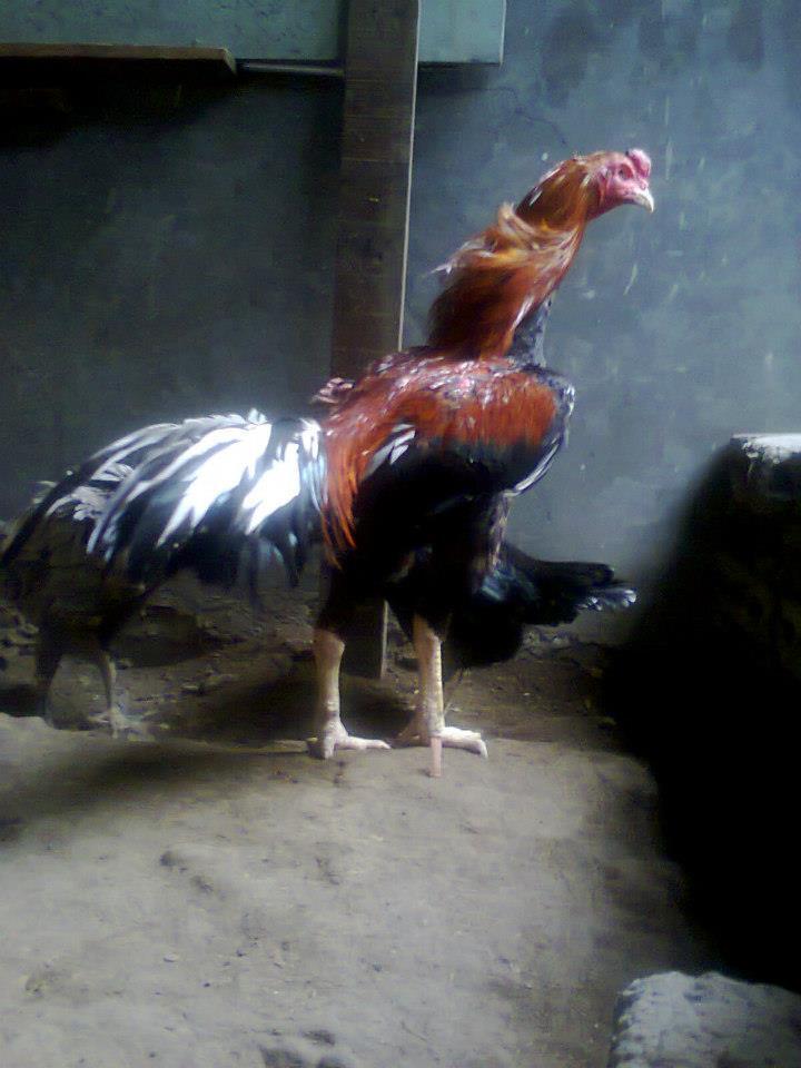 ayam bangkok ( anakan teknik nglock )