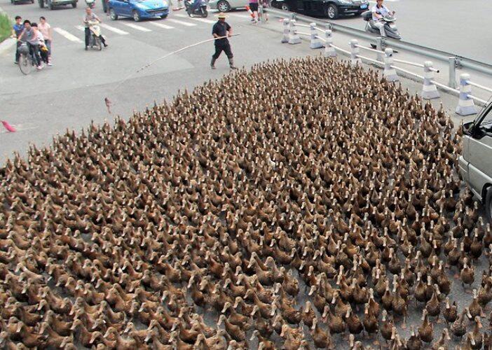 ~๑WOW ! Ketika 5000 Bebek Menguasai Jalan Raya.๑~