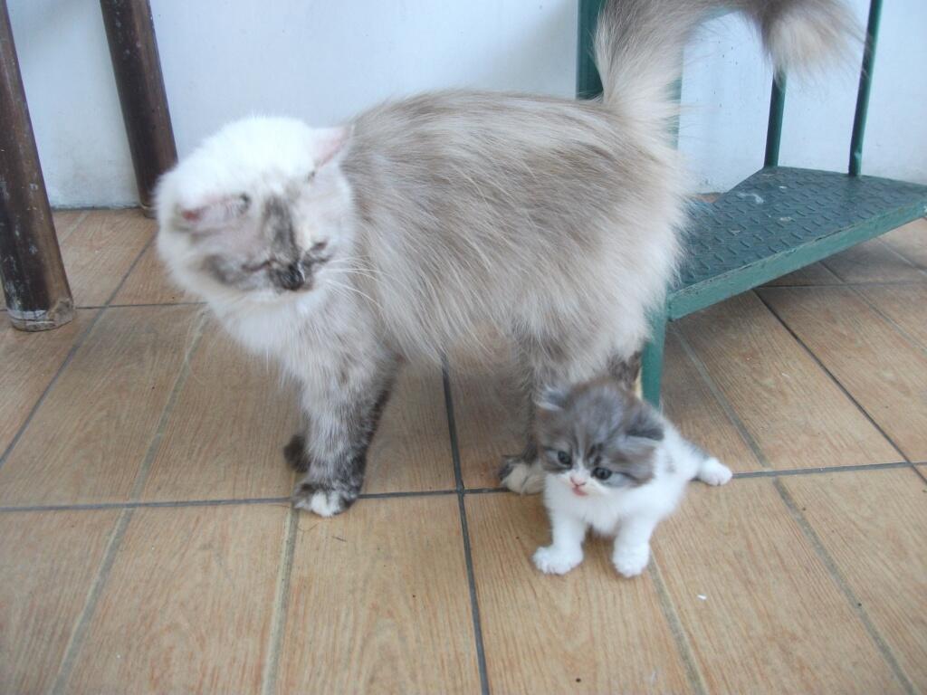 Terjual Dijual Kucing Himalaya Hamil Jakarta Kaskus