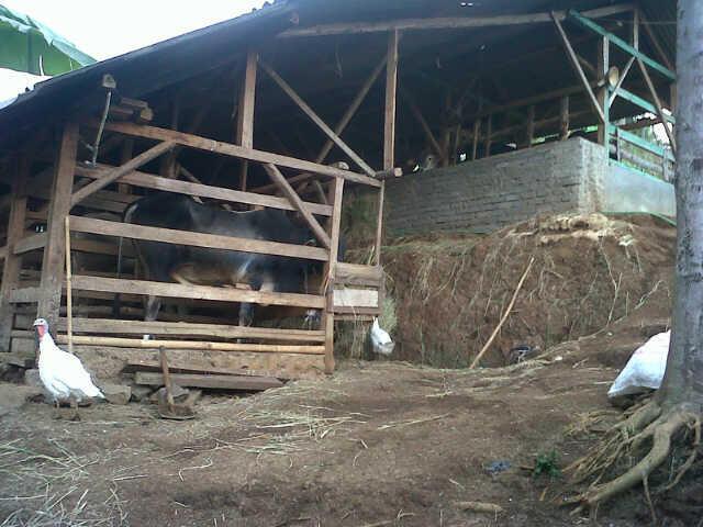 Hewan kurban sapi murah sehat bagus berkualitas