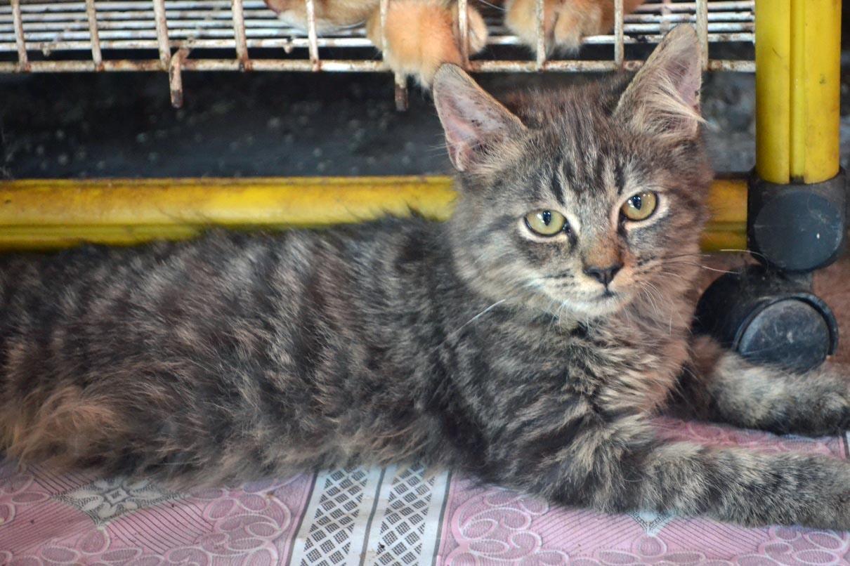Kitten / Anakan Kucing Persia Medium Lucu Murah Gresik