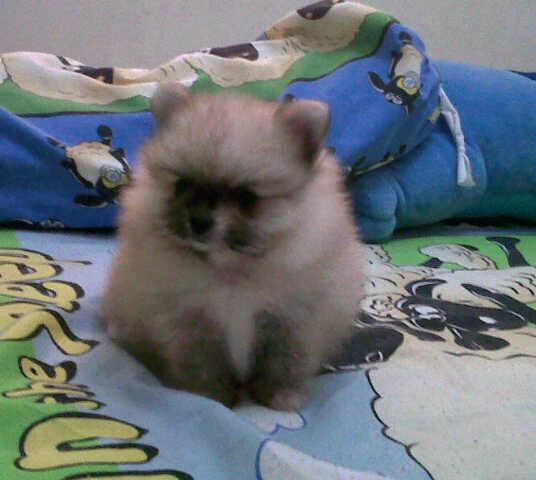 jual anjing pom,mini pom,super mini pom, golden, chihuahua, sitsu