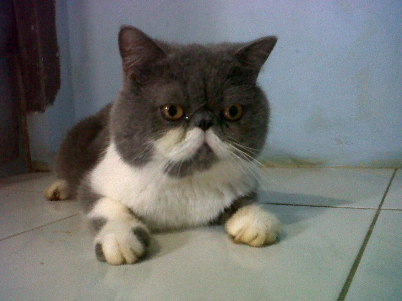 Pacak Kucing Peaknose Extreem Bandung Bergaransi